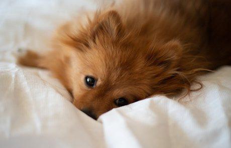 אופי של כלבי פומרניין